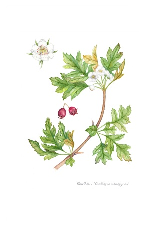 Hawthorn with detail of fruit and flower