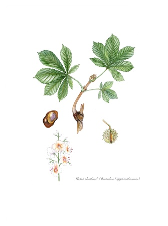 botanical remedy: Horse Chestnut with detail of flower and seed