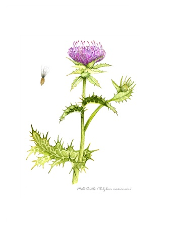 Milk Thistle with detail of seed and flower Stock Photo - 15254987