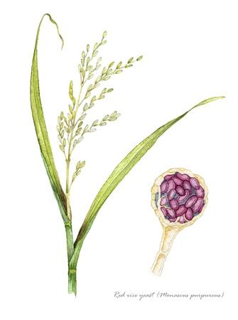 arroz chino: La levadura de arroz rojo con detalles de Ascomycetes