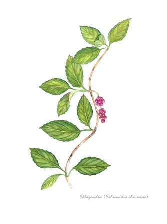 pharmacology: Schisandra with berries