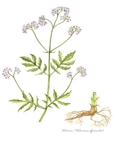 Valeriaan met detail van de wortel
