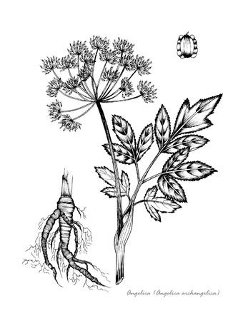 뿌리와 씨앗의 세부 안젤리카