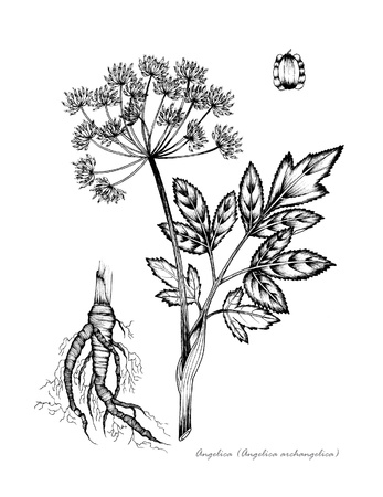 chinese medicine: Angelica with detail of root and seed