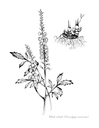 Black Cohosh with detail of root