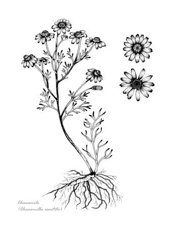 뿌리와 꽃의 세부 사항과 함께 카모마일