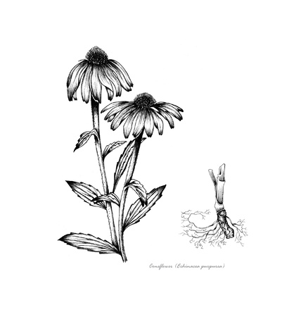 Coneflower Echinacea with detail of root
