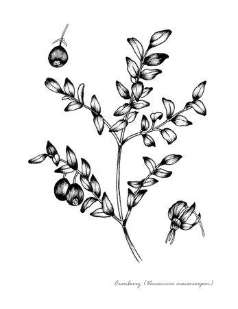 꽃과 과일의 세부 크랜베리 스톡 콘텐츠