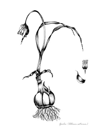 Garlic with detail of flower and bulb Stock Photo
