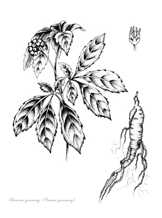 Panax Ginseng with detail of flower and root