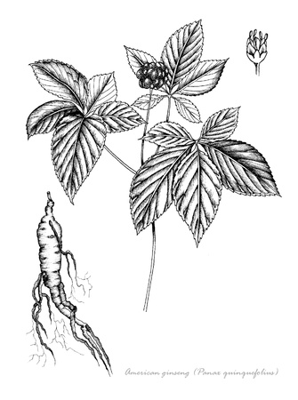 American Ginseng with detail of flower and root