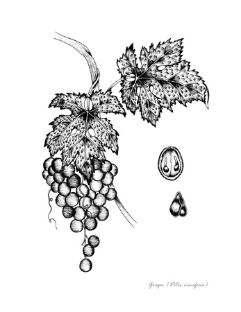 Grape with detail of fruit and seed