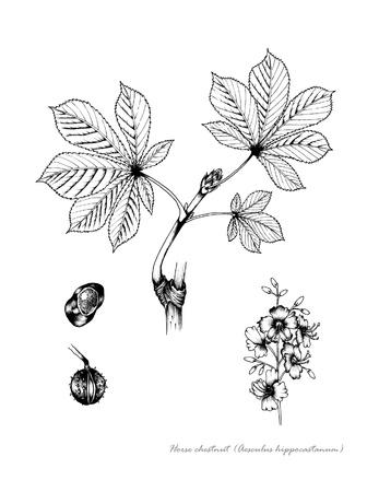 꽃과 씨앗의 세부 말 밤나무 스톡 콘텐츠