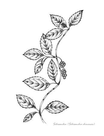 Schisandra with berries