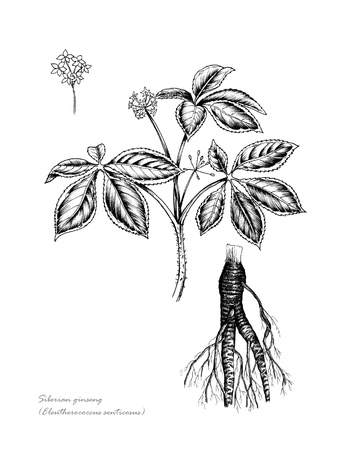 Siberian Ginseng with detail of flower and root Stock Photo