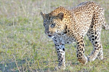 stalking: Leopard stalking