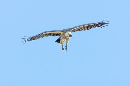 scavenging: Vulture