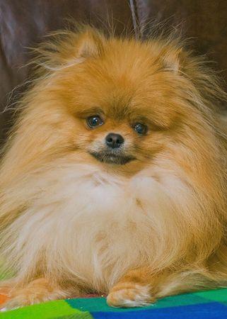 photo of Pomeranian puppy Bently