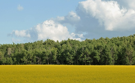 Canola field Stock Photo - 8278837