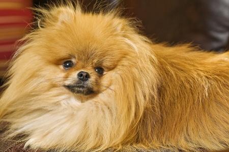photo of Pomeranian Bentley Stock Photo - 8278870