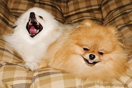 bentley and his best friend baily both Pomeranians photo