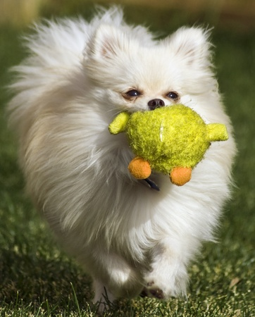 Pomeranian running with toy in its mouth Stock Photo