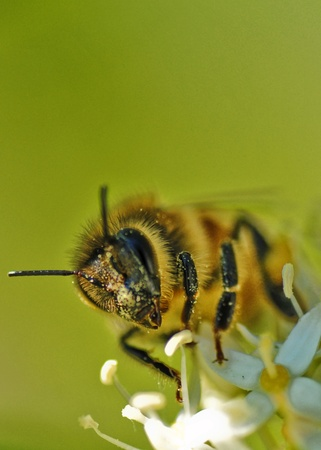 close up of busy bee polinating Stock Photo - 8287661