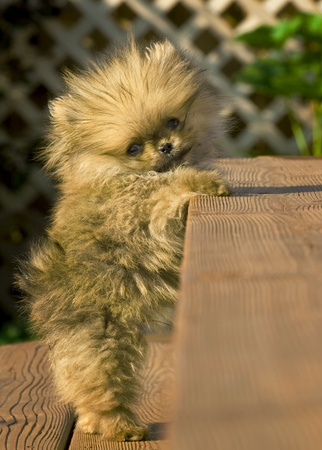 Pomeranian puppy stuck on stairs photo