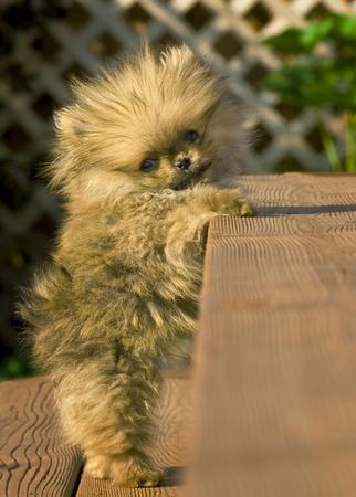 Pomeranian puppy stuck on stairs Stock Photo - 8287699