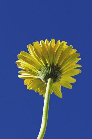 Long stem false sunflower photo