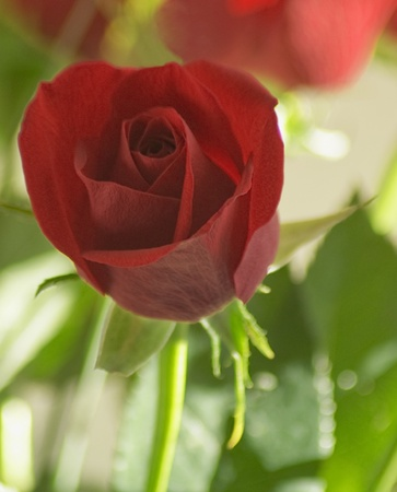 Close up of red rose Stock Photo