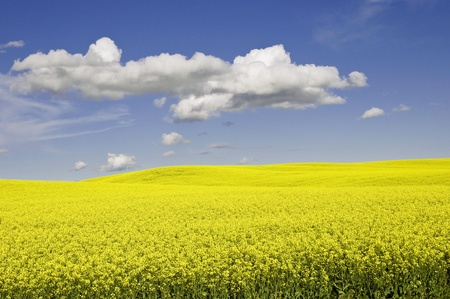 canola field on a bright day