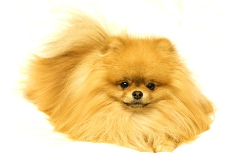 Pomeranion on white background