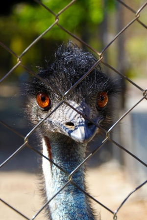 enclosure: Young emu bird staring curiouly from behind a fence in a small birds enclosure in Benalmadena, Spain Stock Photo