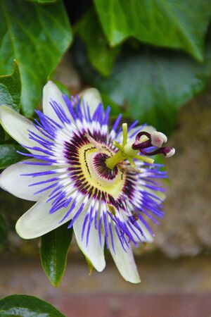 passionflower: A blossoming blue passion-flower in Donostia, Spain Stock Photo