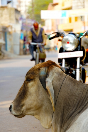 india cow: A cow resting on the street in Varanasi, India  The animals are sacred for the hindus and are common sight on the streets and road in India  Stock Photo