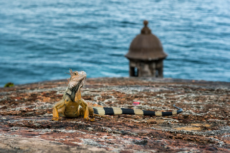 turret: Iguana on stone wall raising head and staring with turret and ocean in background
