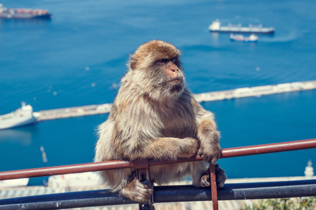 barbary: Barbary macaque in Gibraltar.