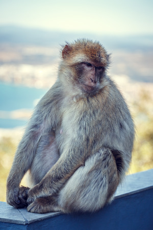 Barbary macaque in Gibraltar.