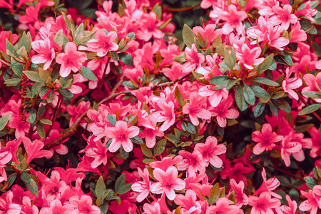 Floral background of azalea (rhododendron), selective focus.