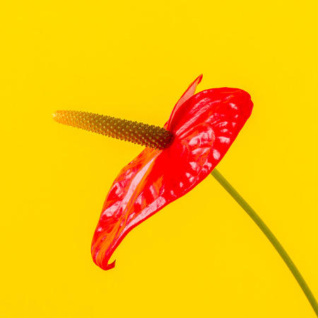 Red flower on a bright colored background with copy space.