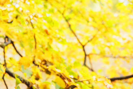 autumn yellow leaves blurred background
