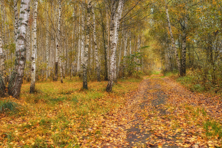 Birch grove in autumn on a sunny day. Stock Photo