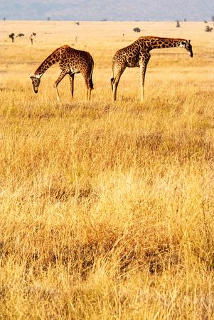 黄色い草と夕日と鳥とタンザニアセレンゲッティ公園の双子のキリン