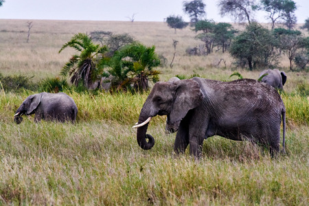 Elephant with baby drinking water in tanzania park river