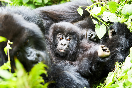 gorilla female with baby in Virunga reserve, Rwanda 版權商用圖片 - 98545413