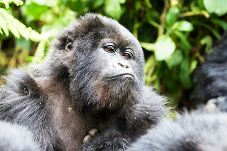 Staring black gorilla in Virunga reserve, Rwanda
