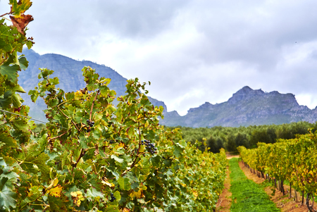 Stellenbosch is a town in the Western Cape province of South Africa, situated about 50 kilometres (31 miles) east of Cape Town Banque d'images - 103029005