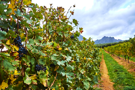 Stellenbosch is a town in the Western Cape province of South Africa, situated about 50 kilometres (31 miles) east of Cape Town. Banque d'images - 105597595