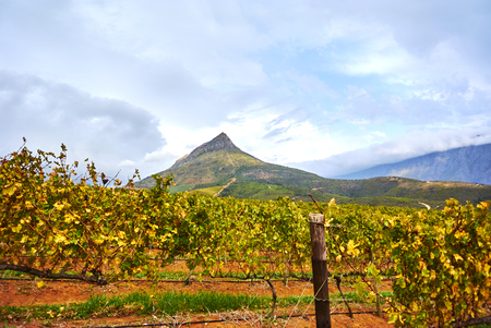 Stellenbosch is a town in the Western Cape province of South Africa, situated about 50 kilometres (31 miles) east of Cape Town. Banque d'images - 105597622